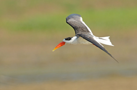 Indian Skimmer - Chambal River - India -