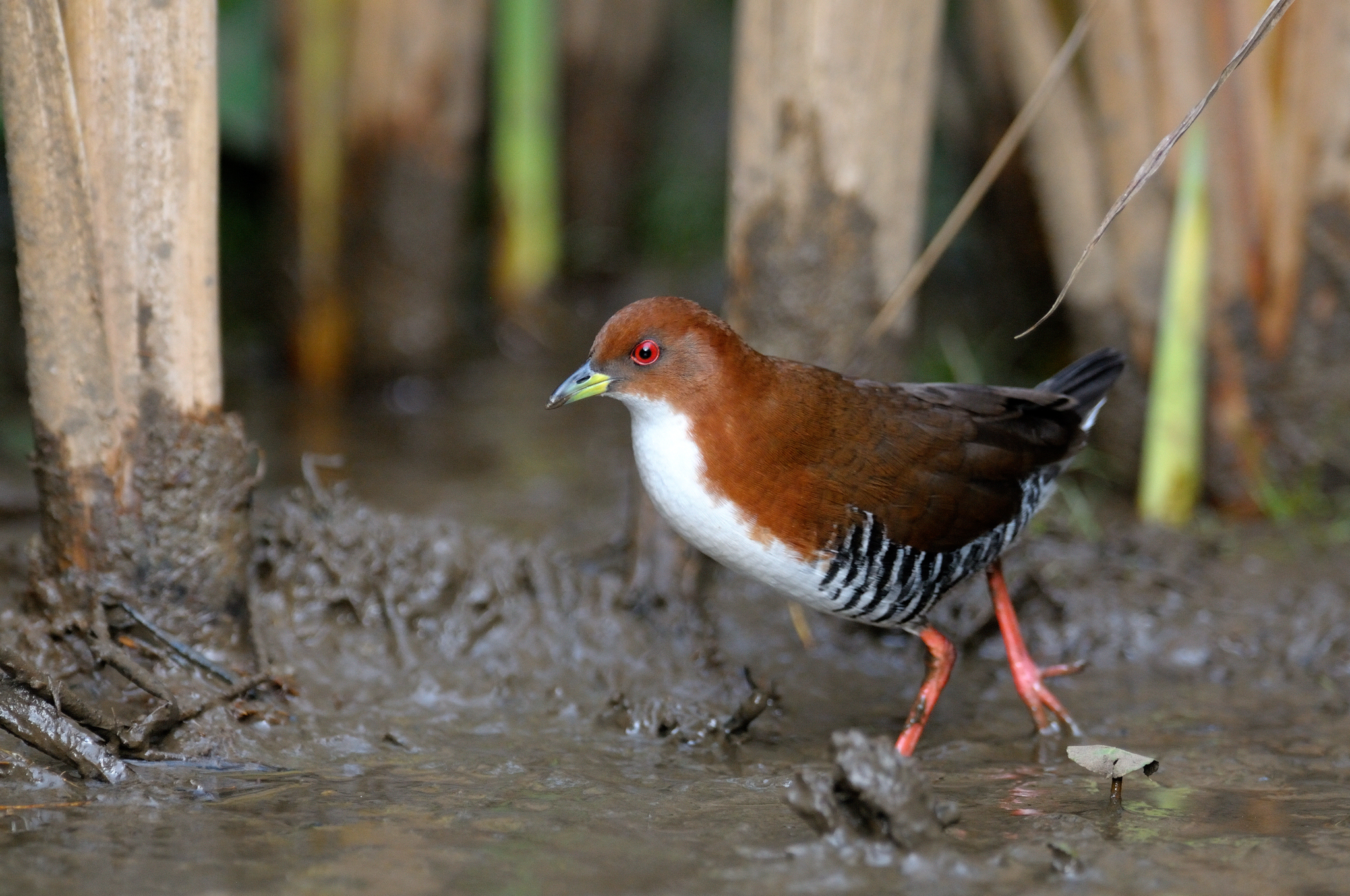 Red-and-white Crake - Intervales - Brazi