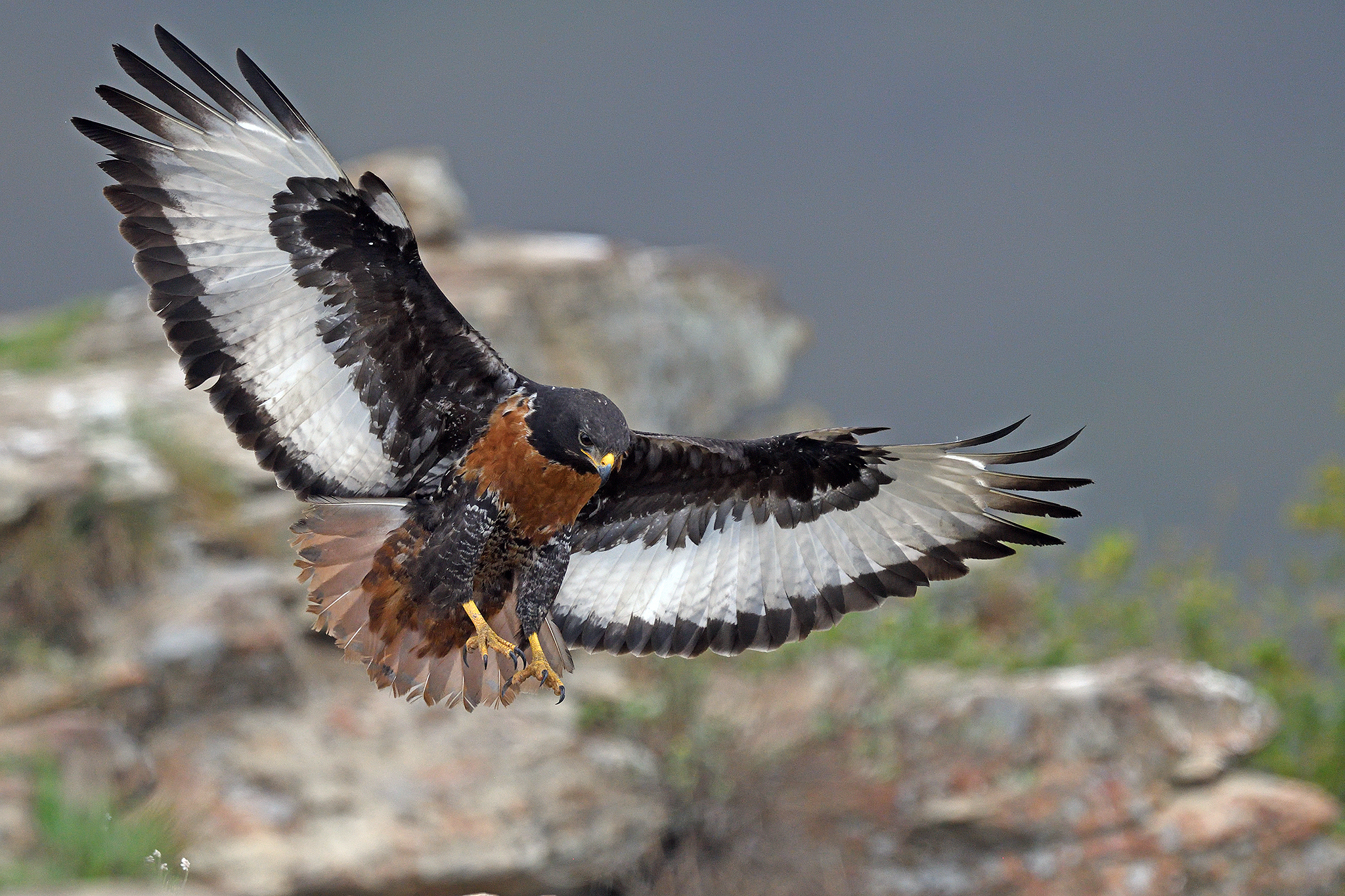 Jackal Buzzard - Giant's Castle - South