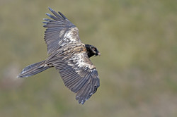 Bearded Vulture - Giant's Castle - South