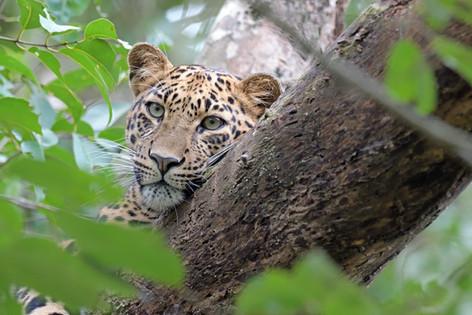 Leopard - Corbett NP - India - Rich Lind
