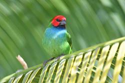 Fiji Parrotfinch - Nadi - Fiji - Rich Li