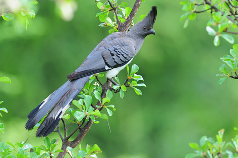 White-bellied Go-away-bird - Sof Omar -
