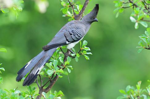 White-bellied Go-away-bird - Sof Omar -