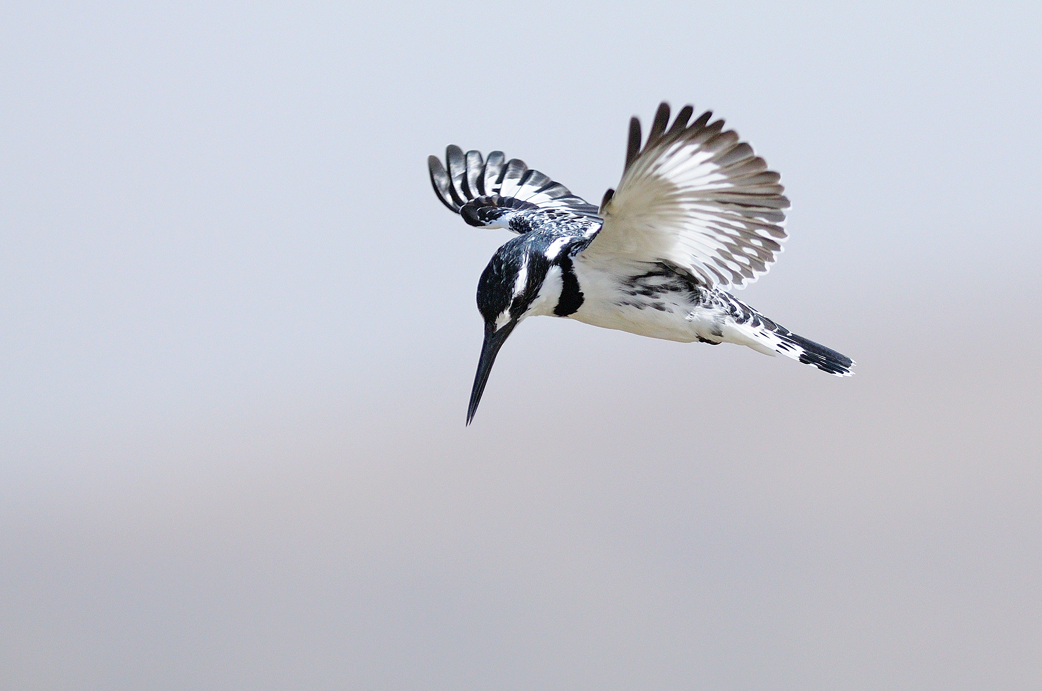 Pied Kingfisher - Ziway Lake - Ethiopia