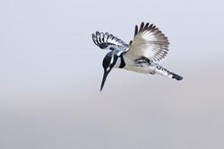 Pied Kingfisher - Ziway Lake - Ethiopia