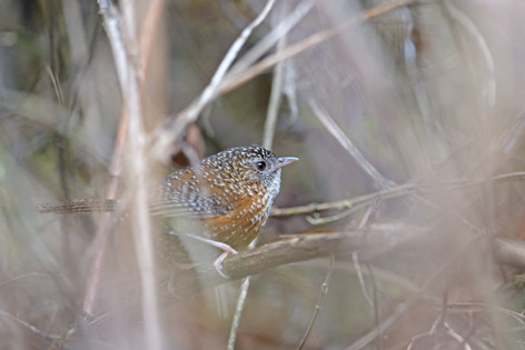 Bar-winged Wren-Babbler - near Sengor -