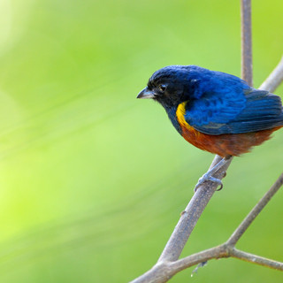 Chestnut-bellied Euphonia - Intervales -