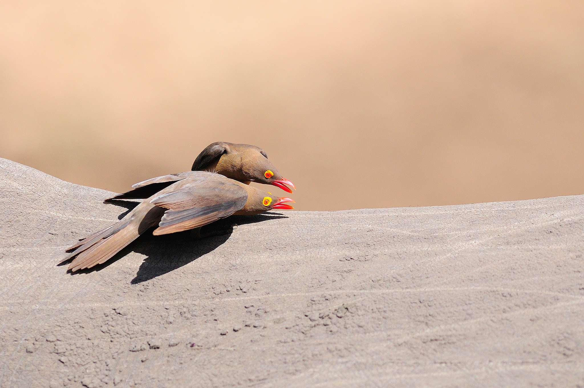 Red-billed Oxpecker - Mkhuze - South Afr