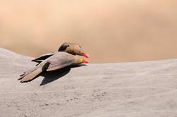 Red-billed Oxpecker - Mkhuze - South Afr