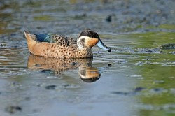 Hottentot Teal - Sappi Stanger - South A