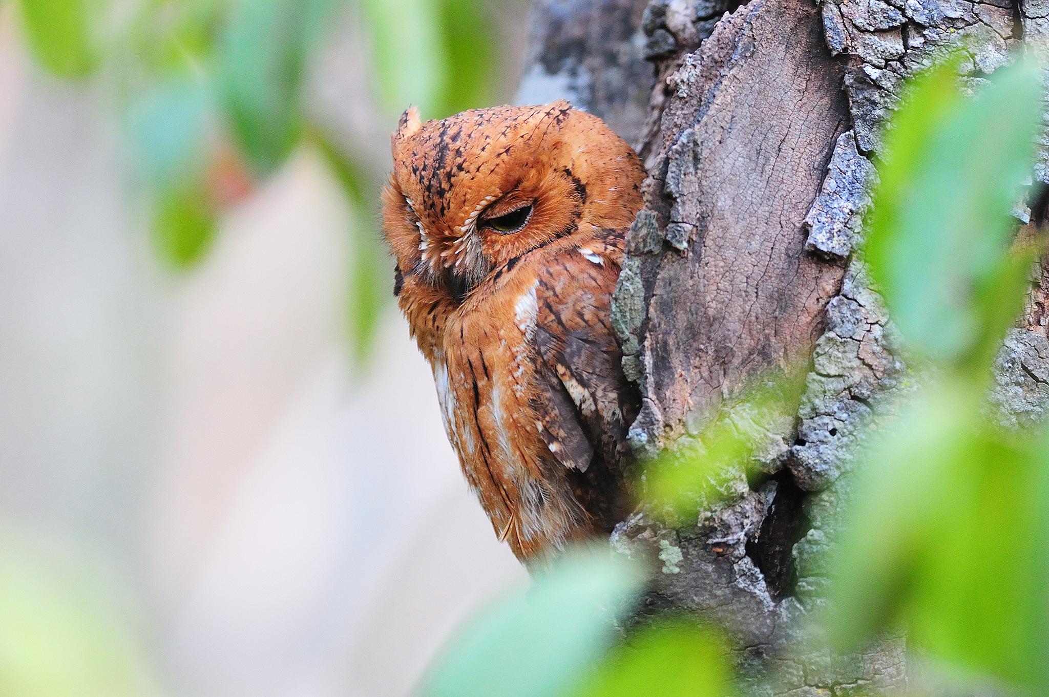 Torotoroka Scops Owl - Ampijoroa - Madag