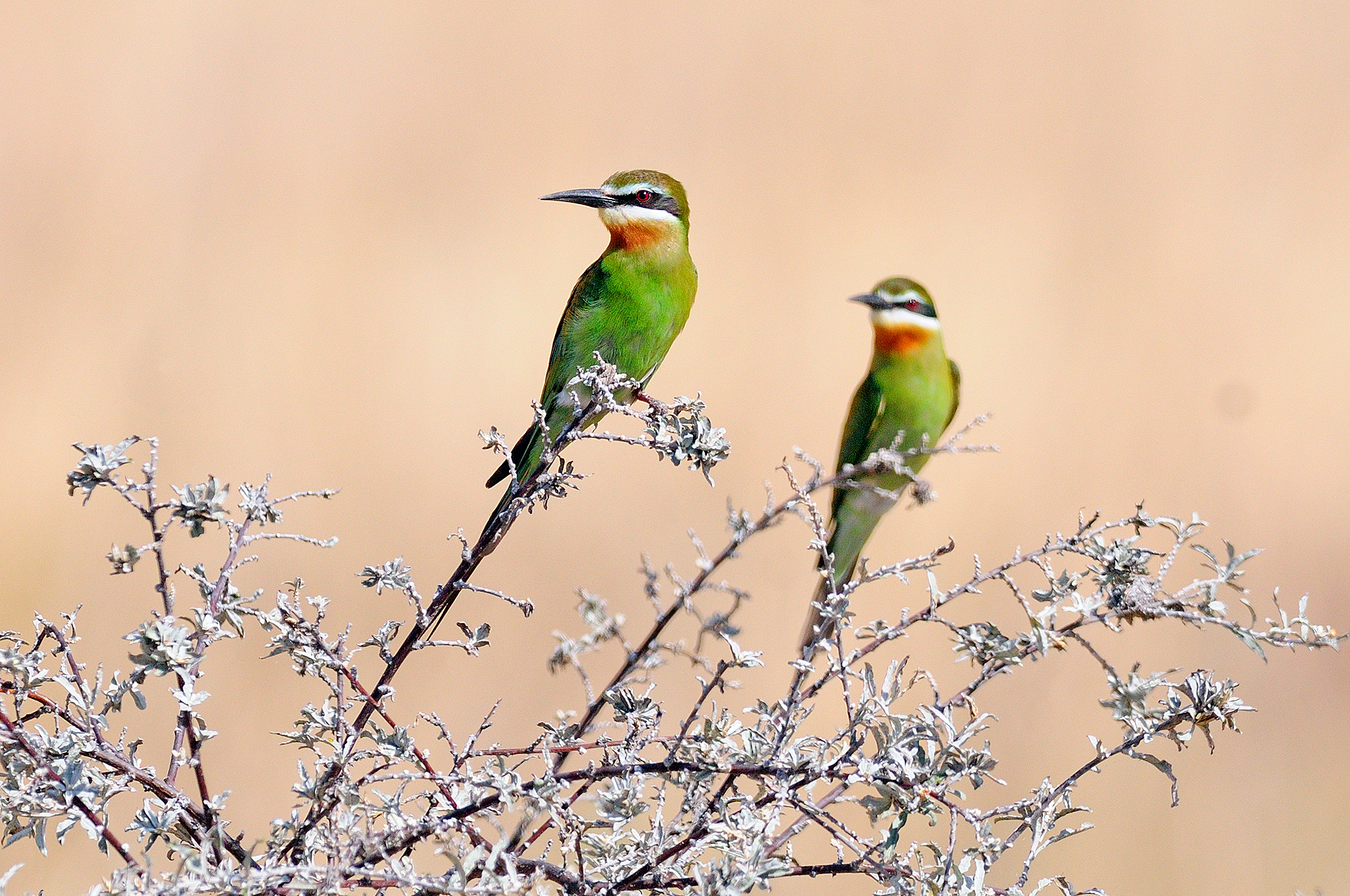 Olive Bee-eater - Madagascar - Rich Lind