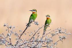 Olive Bee-eater - Madagascar - Rich Lind