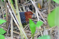 Red-chested Flufftail - Hilton - South A