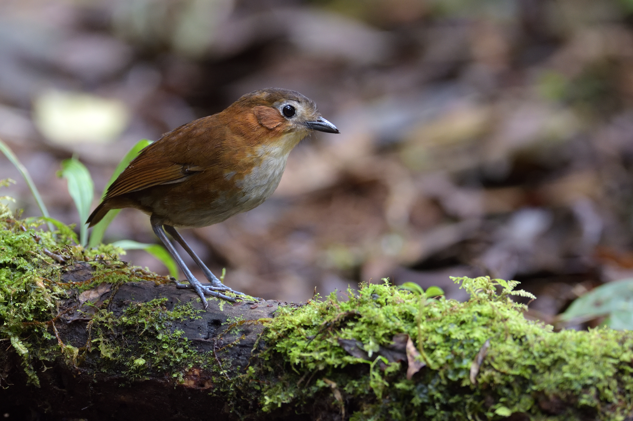 Rusty-tinged Antpitta - Fundo AN - Peru