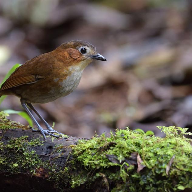 Rusty-tinged Antpitta - Fundo AN - Peru