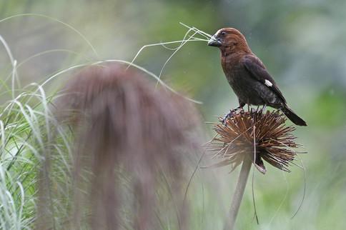 Thick-billed Weaver male - Golden Pond -