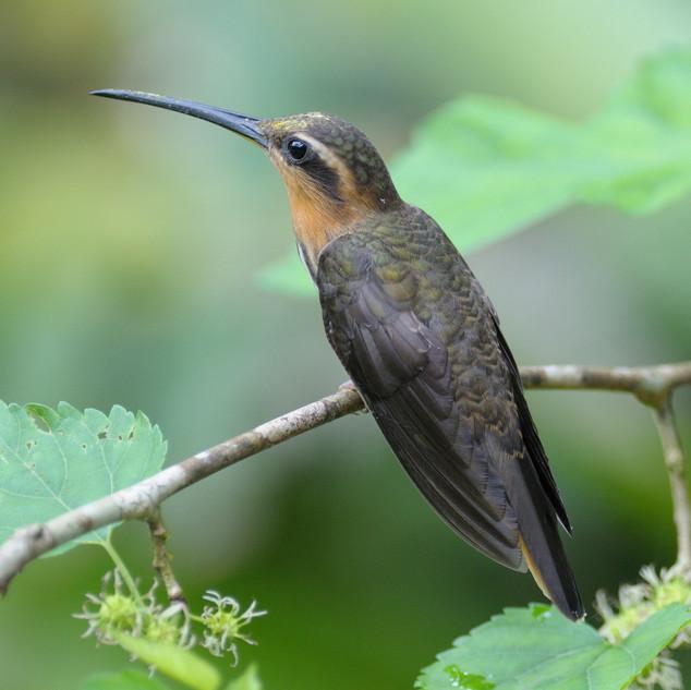 Saw-billed Hermit - Ubatuba - Brazil - R