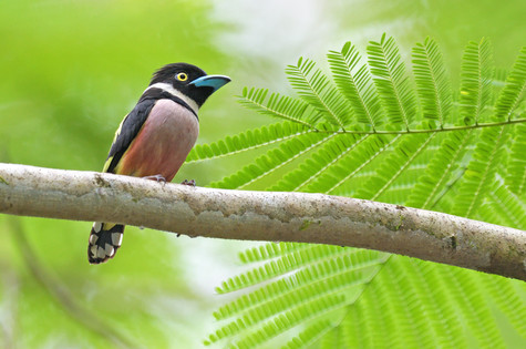 Black-and-yellow Broadbill - Kinabatanga