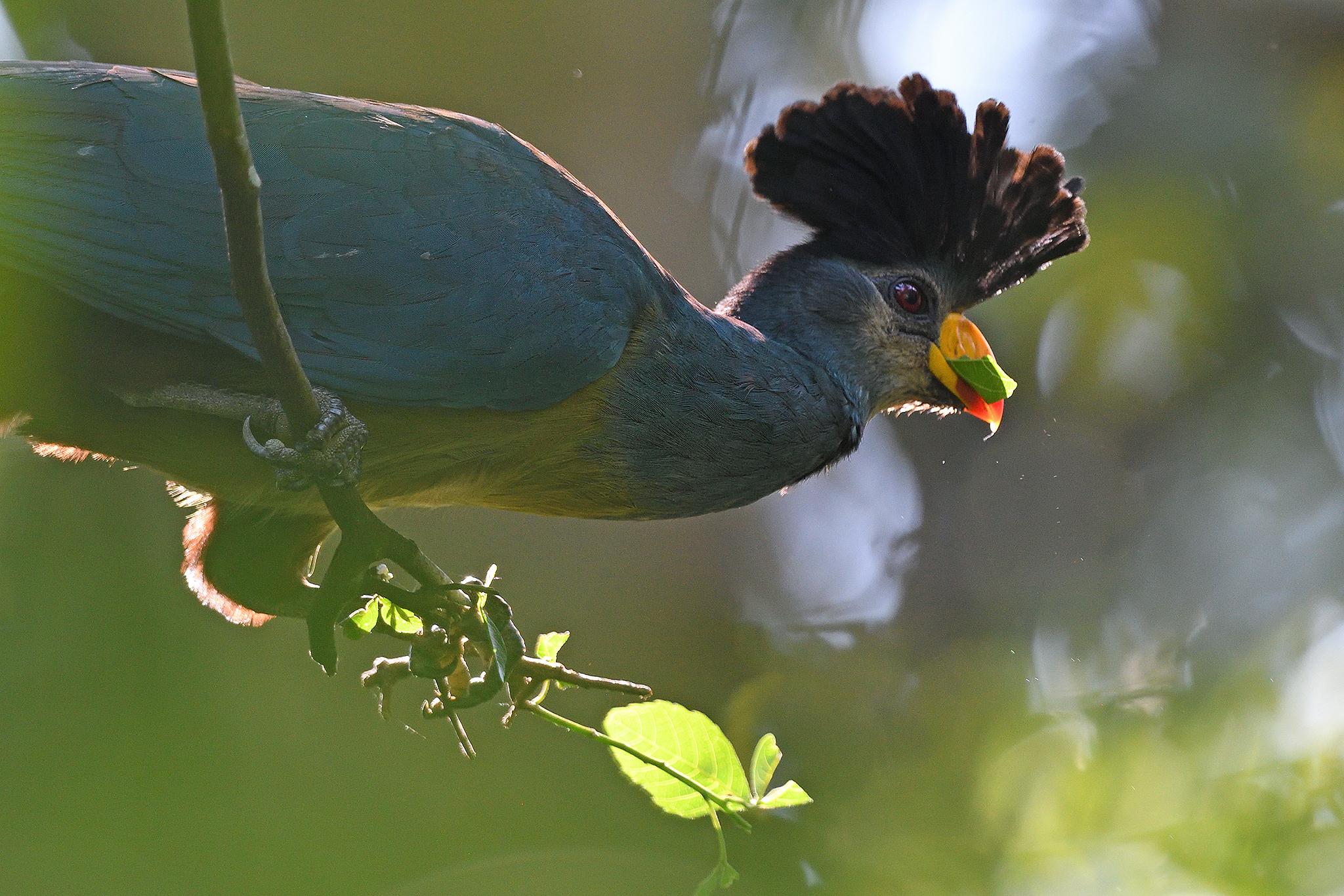 Great Blue Turaco - Bigodi - Uganda - Ri