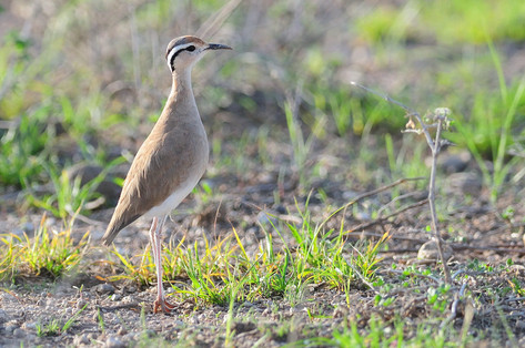 Somali Courser - Buffalo Springs - Kenya