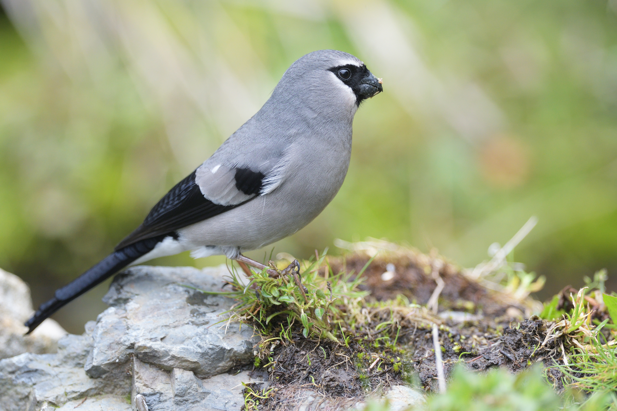 Grey-headed Bullfinch - Dasyuesan - Taiw