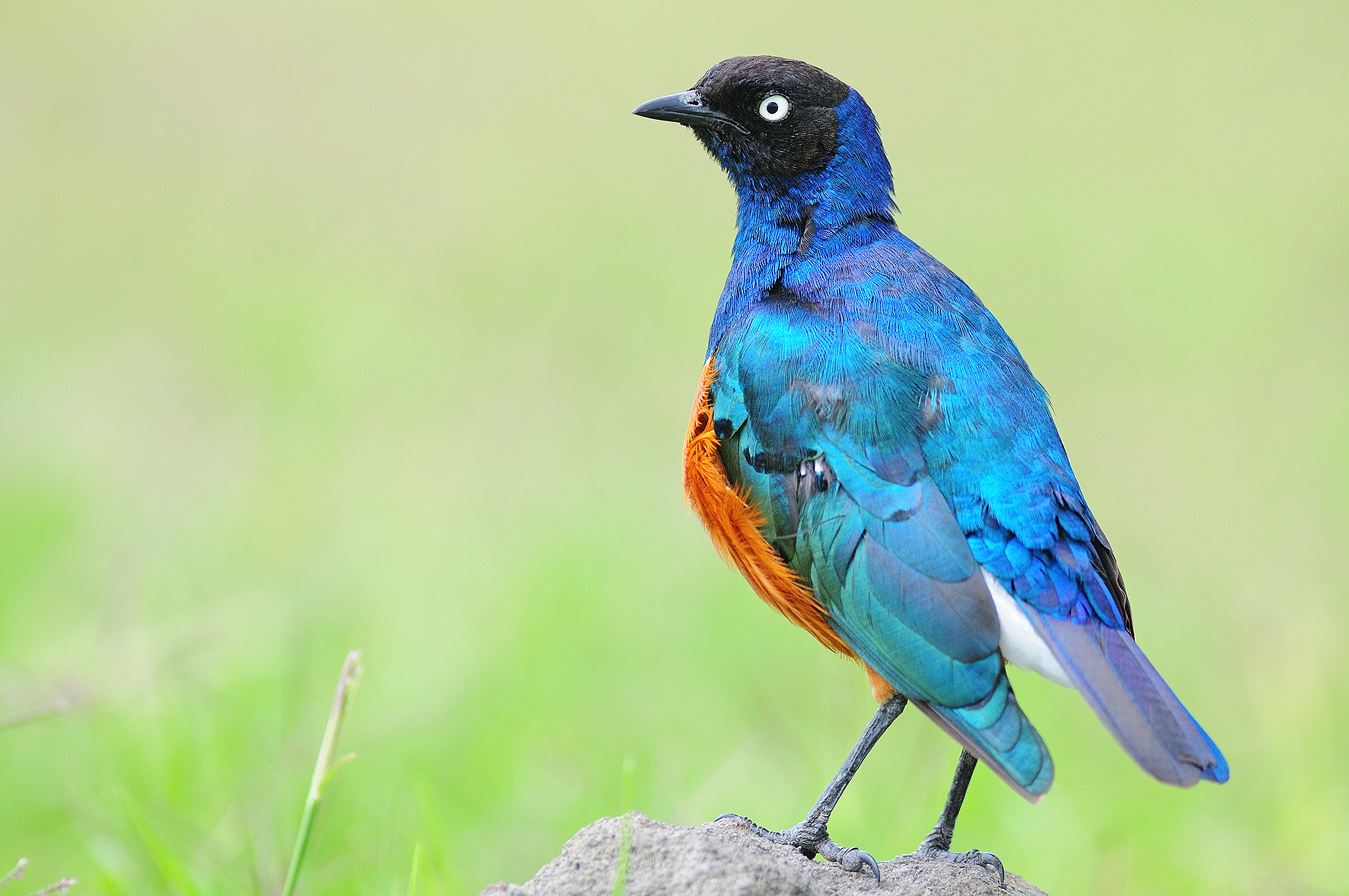 Superb Starling - Ngorongoro Crater - Ta