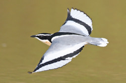 Egyptian Plover - Ghana - Rich Lindie 12