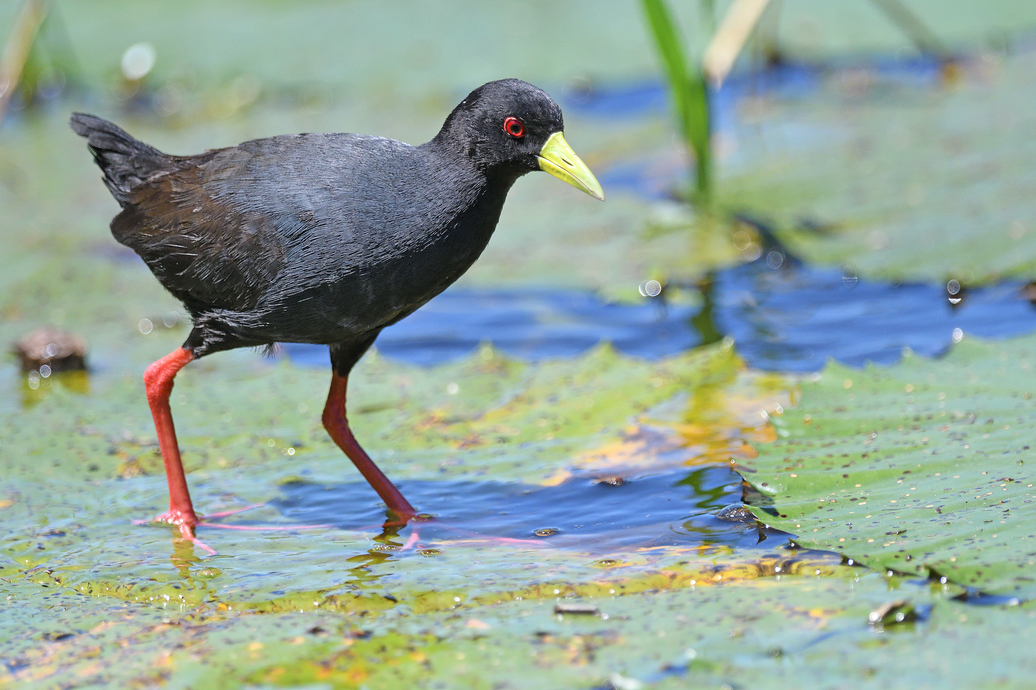 Black Crake - Kruger - South Africa - Ri