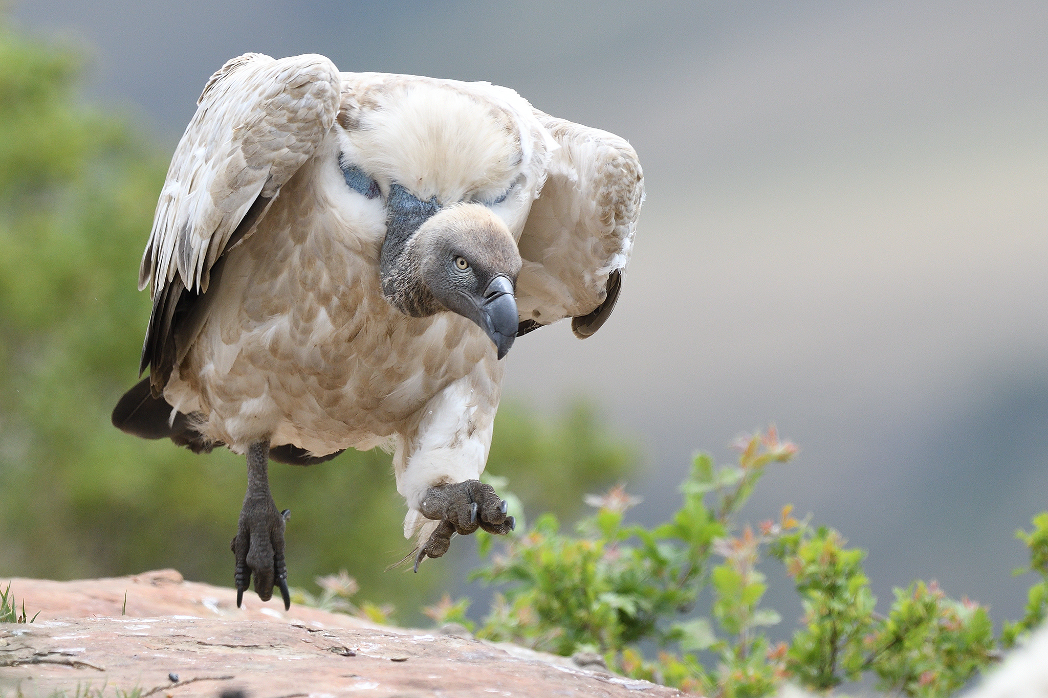Cape Vulture - Giant's Castle - South Af