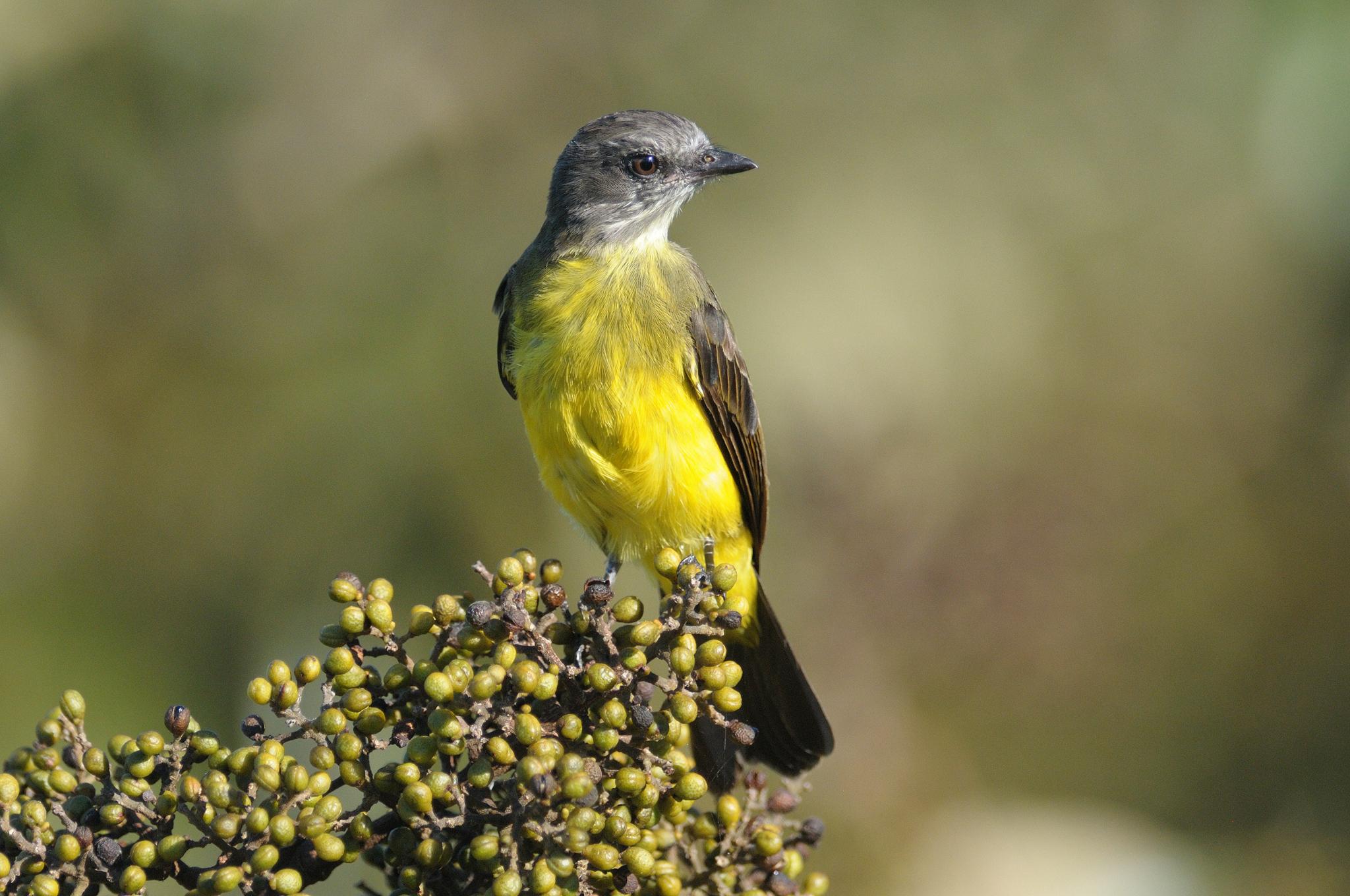 Dusky-chested Flycatcher - Cristalino -