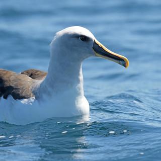 Buller's_Albatross_-_Valparaíso_-_Chile