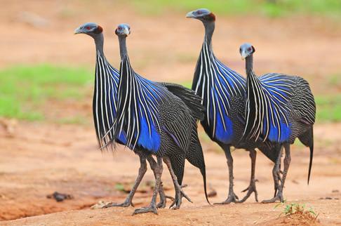 Vulturine Guineafowl - Buffalo Springs -
