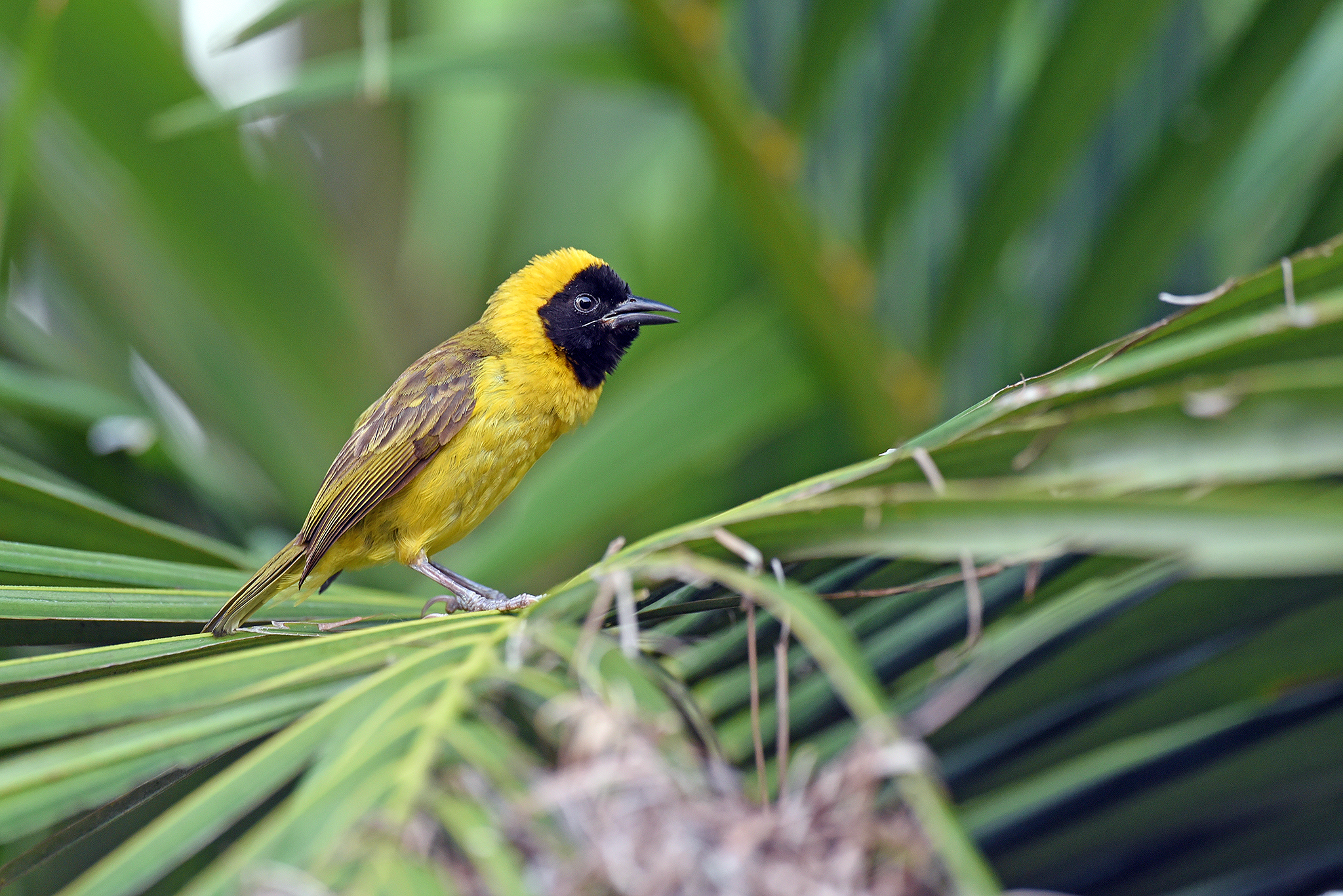 Slender-billed Weaver - Uganda - Rich Li
