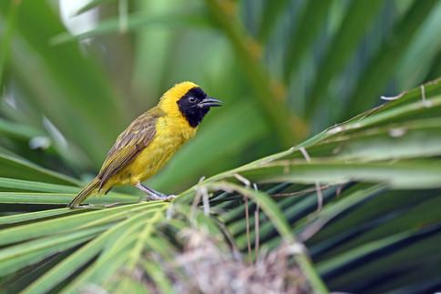 Slender-billed Weaver - Uganda - Rich Li