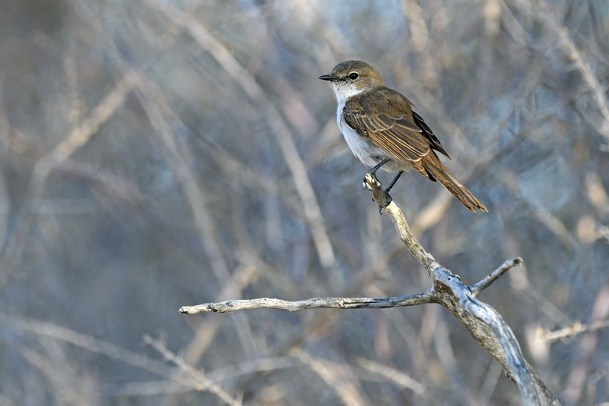 Marico Flycatcher - Kgalagadi - South Af