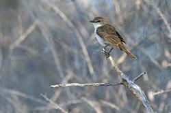 Marico Flycatcher - Kgalagadi - South Af