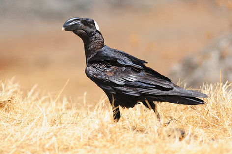 Thick-billed Raven - Harenna - Ethiopia