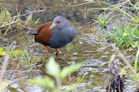 Black-tailed Crake - Bhutan - Rich Lindi