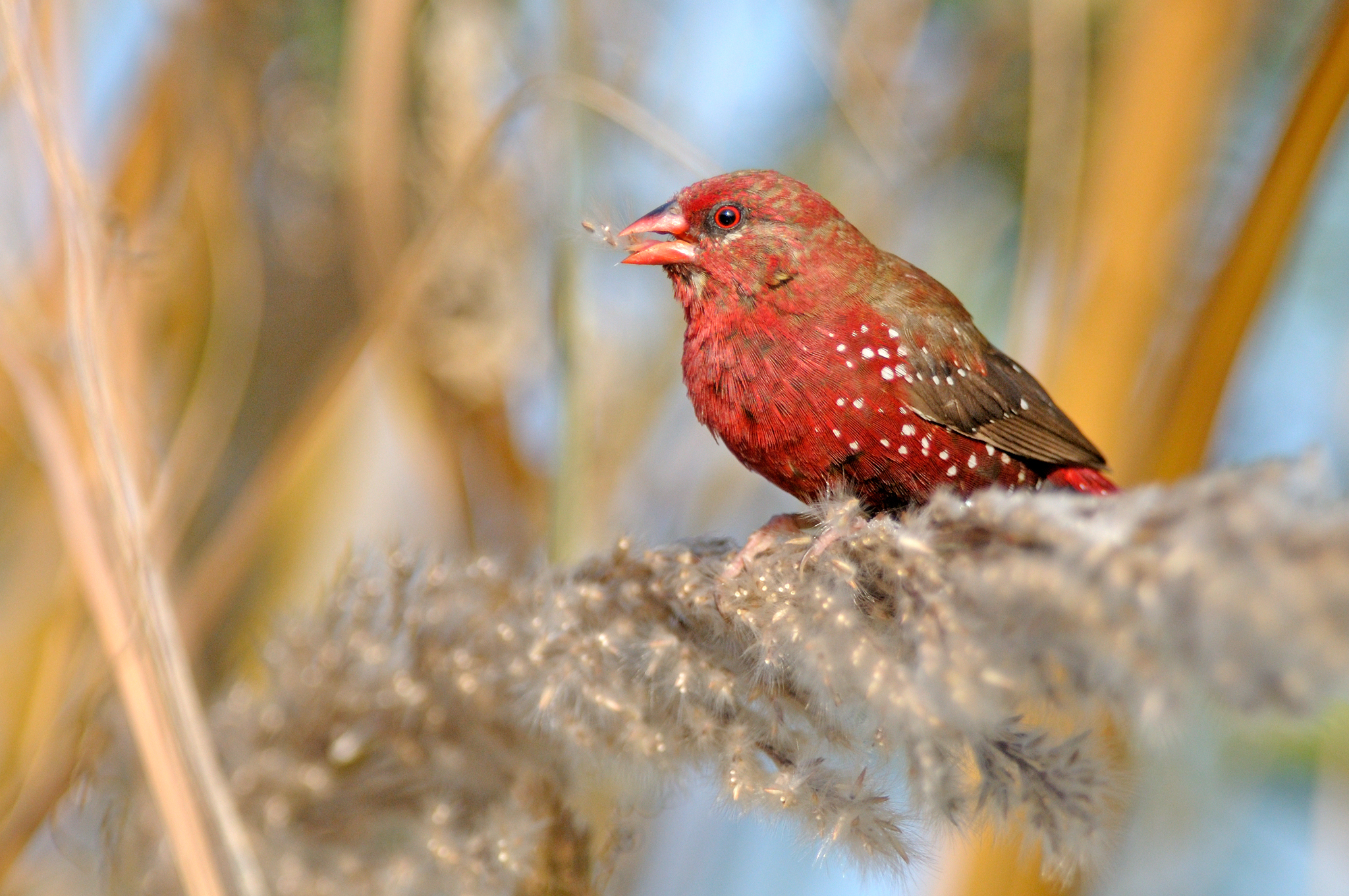 Red Avadavat - Bharatpur - India - Rich