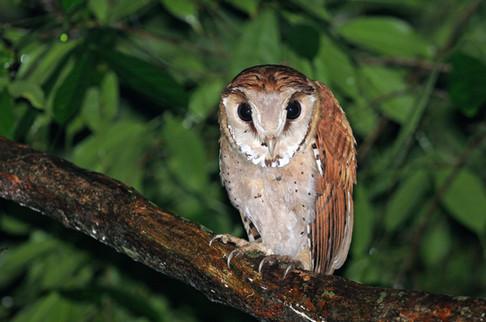Oriental Bay Owl - Kaeng Krachan - Thail