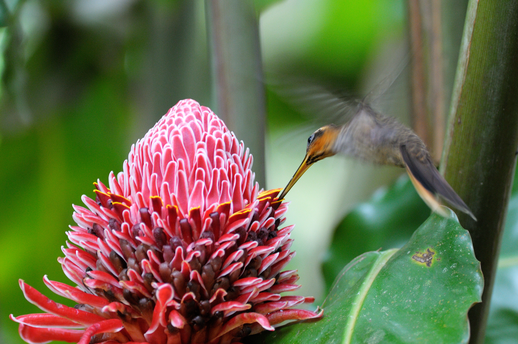 Saw-billed Hermit - Ubatuba - Brazil - R