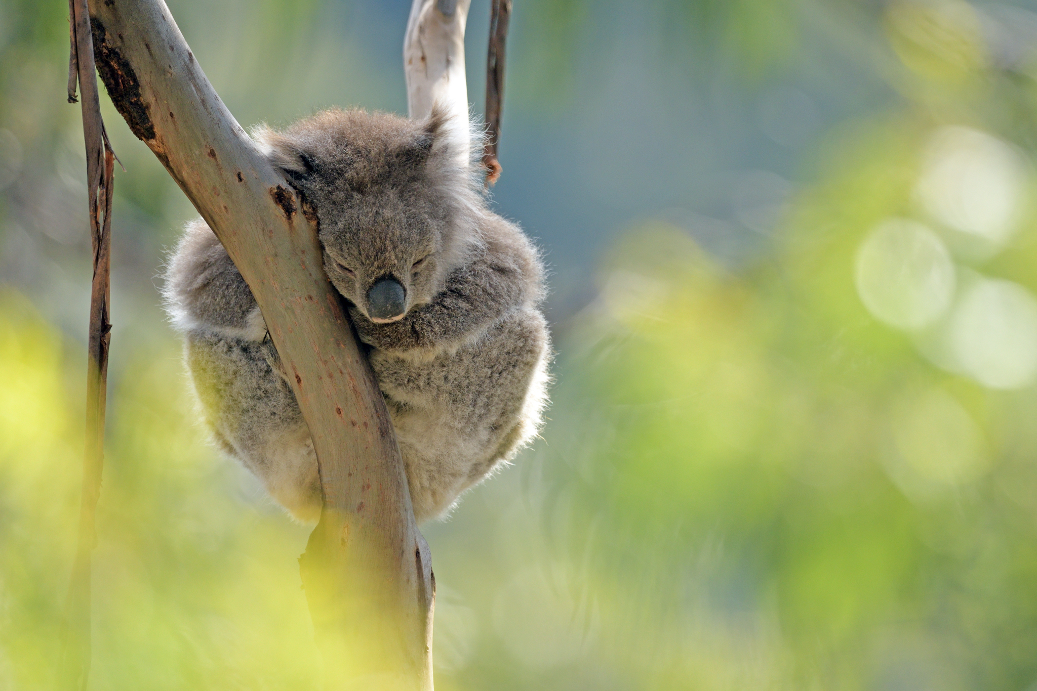 Koala - Great Ocean Road - Australia - R