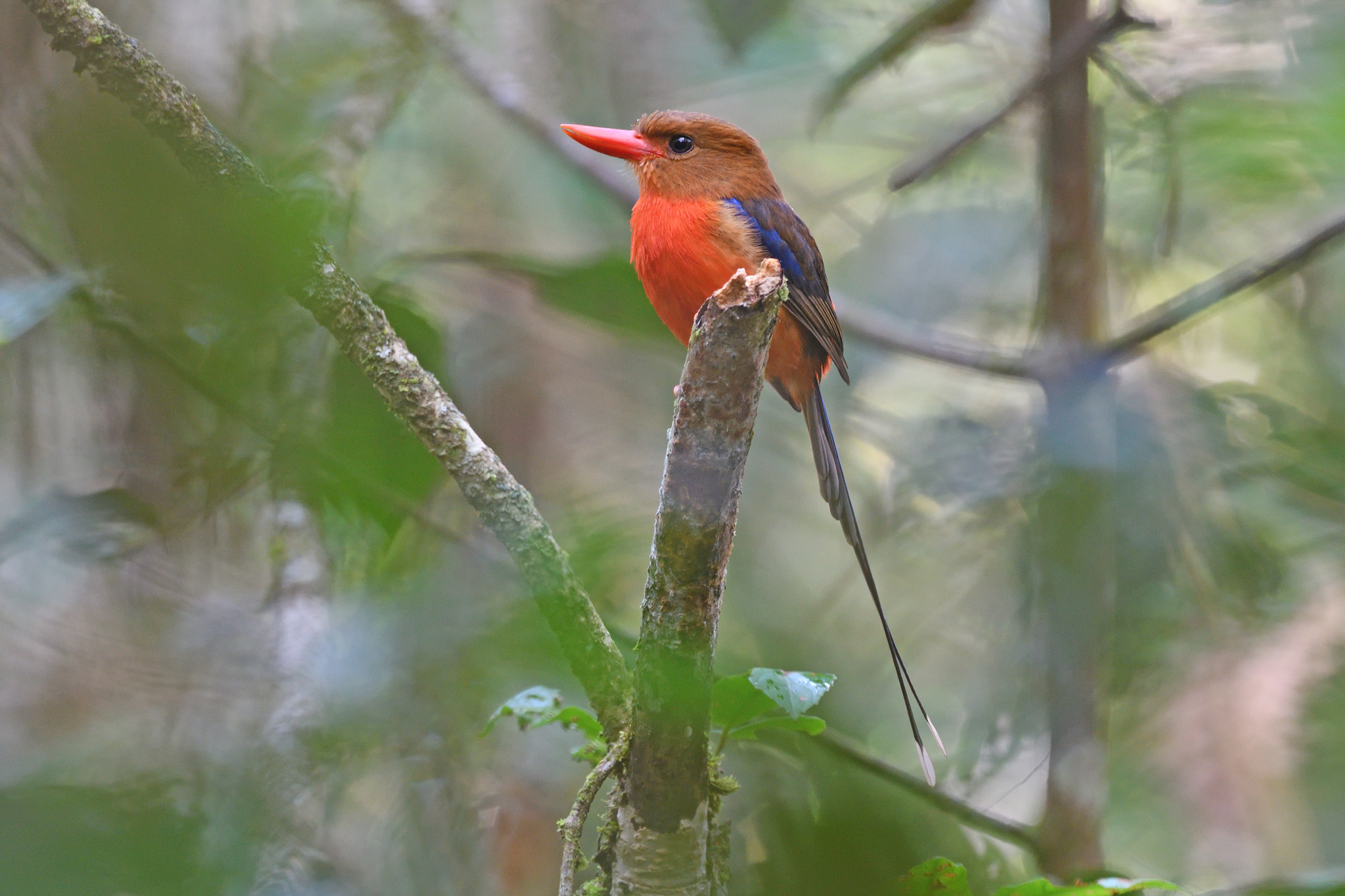 Brown-headed Paradise Kingfisher - Varir