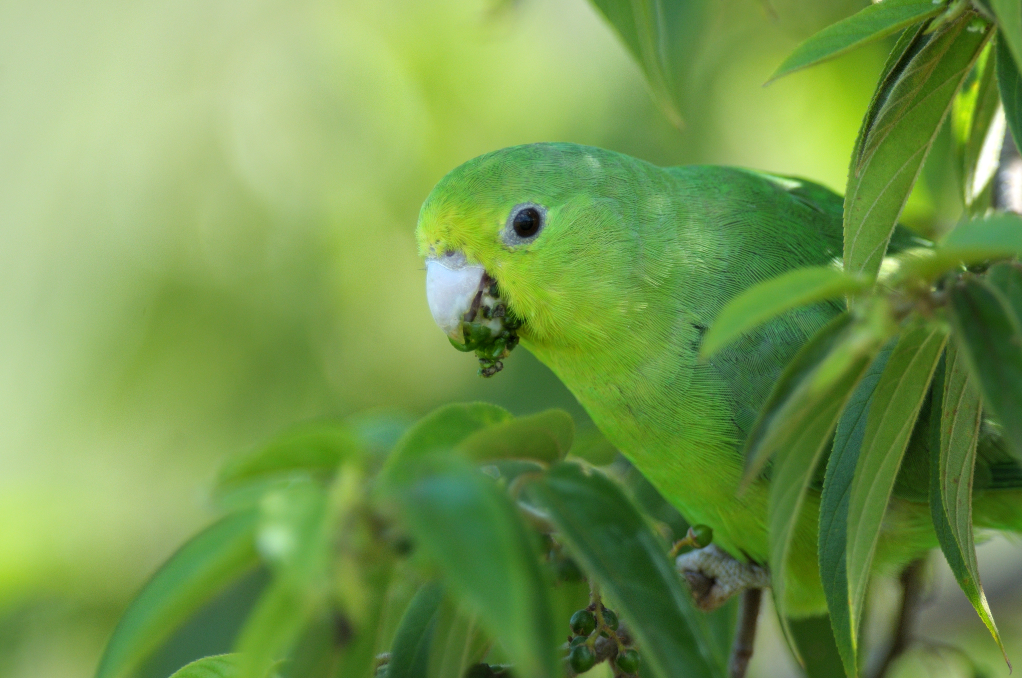 Blue-winged_Parrotlet_-_Iguazú_Falls_-_