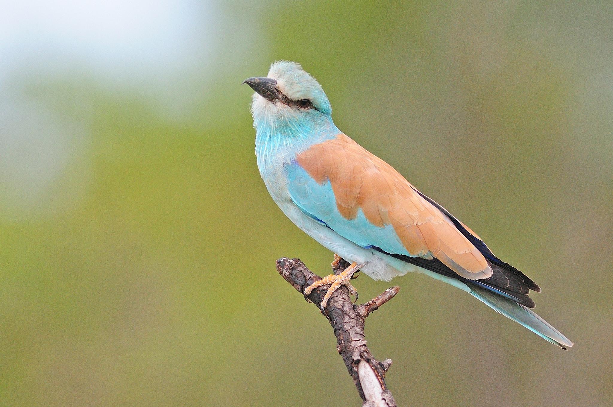 European Roller - Kruger - South Africa