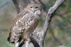 Brown Fish Owl - Ranthambore NP - India