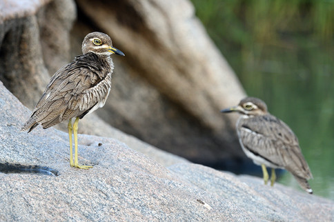 Water Thick-knee - Kruger - South Africa