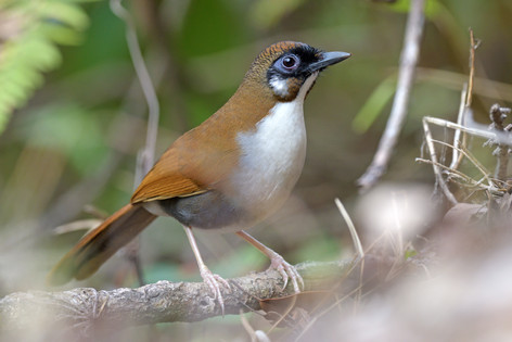 Grey-sided Laughingthrush - Lingmethang